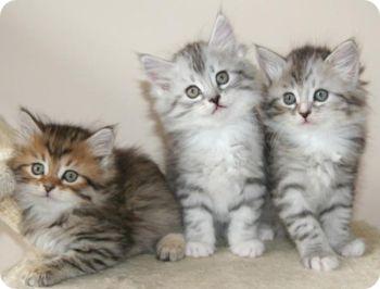 Три маленькие кошки